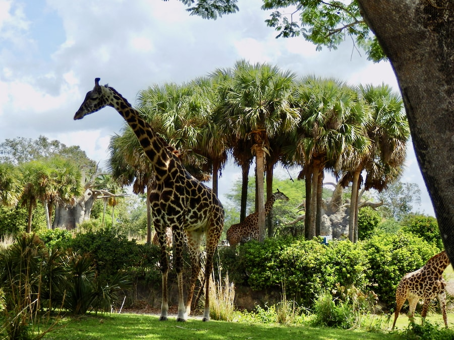 Jirafas en Kilimanjaro Safaris de Animal Kingdom